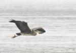 801 Gray Heron
